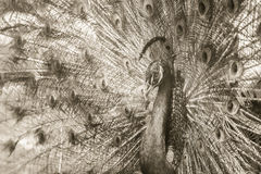 Beautiful black and white abstract background of peacock showing. Beautiful plumage and spreading tail-feathers in breading season Royalty Free Stock Photos