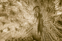 Beautiful black and white abstract background of peacock showing. Beautiful plumage and spreading tail-feathers in breading season Royalty Free Stock Photo
