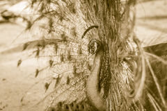 Beautiful black and white abstract background of peacock showing. Beautiful plumage and spreading tail-feathers in breading season Royalty Free Stock Image