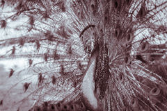 Beautiful black and white abstract background of peacock showing. Beautiful plumage and spreading tail-feathers in breading season Stock Photo