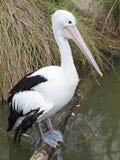 Beautiful black and white Australian pelican Royalty Free Stock Photo