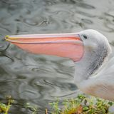 Beautiful black and white Australian pelican with red beak. Autumn time stock photography