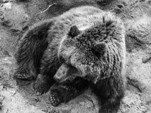 Beautiful black and white bear. In captivity Royalty Free Stock Image