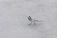 Beautiful black and white bird, Male of White Wagtail, Motacilla alba Royalty Free Stock Photo