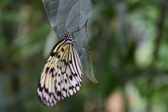 A beautiful black and white butterfly on green leaf Stock Images