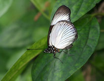Beautiful Black and White Butterfly. Standing on green leaf Stock Image