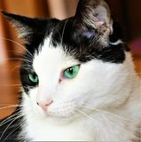 Beautiful black and white cat with aqua green eyes royalty free stock photography