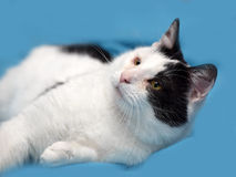A beautiful  black and white cat Stock Images