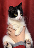 A beautiful  black and white cat Royalty Free Stock Photo