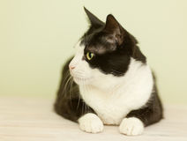 Beautiful black and white cat. On a light background Stock Photo