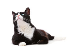 Beautiful black and white cat looking up. Against white background royalty free stock photos
