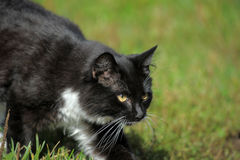 Beautiful black and white cat in nature. Beautiful black and white cat on green grass Royalty Free Stock Photos