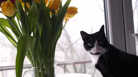 Home beautiful black and white cat next to a bouquet of flowers looks out the window. Bouquet of yellow tulips. slow. Beautiful black and white cat next to a stock photo