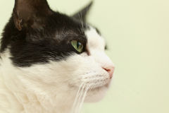 Beautiful black and white cat in profile. Beautiful black and white cat on a light background Stock Image