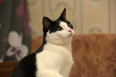 Beautiful black and white  cat Stock Photography