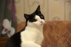 Beautiful black and white  cat Stock Photo