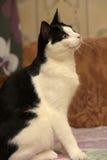 Beautiful black and white  cat Stock Photos
