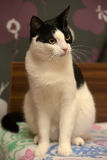 Beautiful black and white  cat Royalty Free Stock Photo
