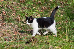 Beautiful black and white cat Royalty Free Stock Images