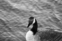Beautiful black and white close-up of a Canada goose. With the water background stock image