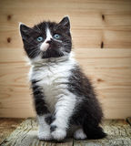 Beautiful black and white color british short hair kitten Royalty Free Stock Photos