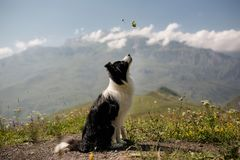 Beautiful black and white dog border collie sit on a field on mountain and look up. in the background white snow stock photos