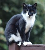 A beautiful black and white domestic pet cat Royalty Free Stock Photos