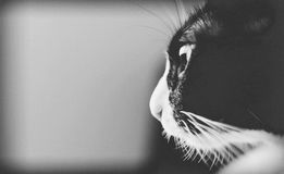 Beautiful black and white fatty cat.With copy space. stock images
