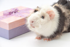 Beautiful black and white guinea pig with gift box on a white ba Royalty Free Stock Photography