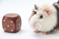 Beautiful black and white guinea pig with toy on a white backgro Royalty Free Stock Image