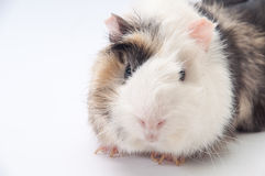 Beautiful black and white guinea pig on a white background Stock Images