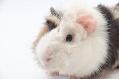 Beautiful black and white guinea pig on a white background Royalty Free Stock Images
