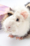 Beautiful black and white guinea pig on a white background Stock Image