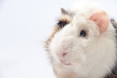 Beautiful black and white guinea pig on a white background Stock Photos
