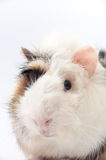 Beautiful black and white guinea pig on a white background Royalty Free Stock Photos