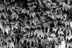 Beautiful black and white leaves. Plant Stock Images