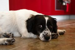 Beautiful black and white long-haired dog on a floor. Beautiful black and white long-haired dog on a floor of a kitchen Stock Photos