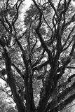 Beautiful black and white old tree. Stock Image