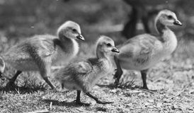 Beautiful  black and white photo of a family of the Canada geese Royalty Free Stock Photo