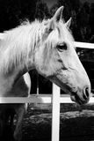 Beautiful black and white picture about a cute horse in a farm stock photo