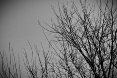 Black and white pictures of trees without leaves. Beautiful, Black and white pictures of trees without leaves royalty free stock image
