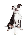 Beautiful Black and White Pit Bull Dog Royalty Free Stock Photography