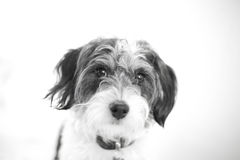Beautiful black and white portrait of poodle cross Stock Photo