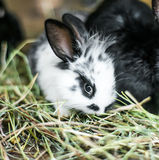 Beautiful black-and-white rabbit in the hay Royalty Free Stock Photography