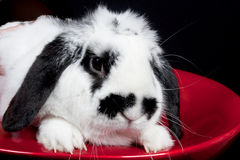 A beautiful black and white rabbit specimen. Photographed on a red cut stock image