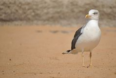 Seagull walking on the sand. Beautiful black and white Seagull taking a walk along the beach stock photography