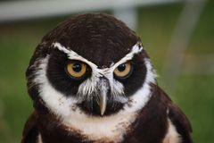 A beautiful black and white spectacle owl bird Royalty Free Stock Image