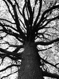 Beautiful black and white tree. In bloom, detail on the branches Stock Photography
