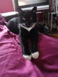 Beautiful black and white tuxedo cat royalty free stock images