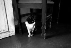 Beautiful black and white tuxedo cat inside a house below a chair. Black and white photography royalty free stock photography